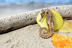 Body and texture of dry seahorse. Photo in outdoor one side sun lighting and dark shadow Stock Photo