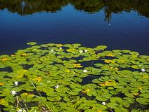 Waterlilies in water. A body of water with water lilies and lilypads Royalty Free Stock Photography
