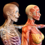 Body Worlds. 3d rendering of the female anatomy as illustration Royalty Free Stock Photos