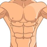 Bodybuilder, anatomy of the abdominal muscles man. Raster object on a white background. Male press, the body of an athlete. Bodybuilder, anatomy of the abdominal royalty free illustration
