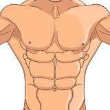 Bodybuilder, anatomy of the abdominal muscles man. Vector object on a white background. Male press, the body of an athlete. Bodybuilder, anatomy of the abdominal Stock Photography