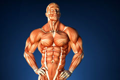 Bodybuilder anatomy. Contains clipping path Stock Photography