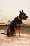 The bodyguard. Female pure breed German Sheperd dog guardign the house stock photography