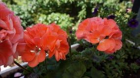 Bodziszek pomarańcze fotografia stock