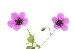 bodziszek purpury Fotografia Stock