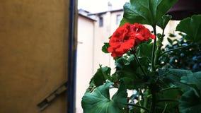 Bodziszek roślina w Nemi prowincji Rzym, zbiory wideo