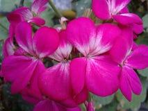 Bodziszek: tango kwiat który musi nigdy brakować Obrazy Royalty Free