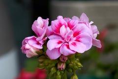 Bodziszek w kwiacie Zdjęcia Royalty Free