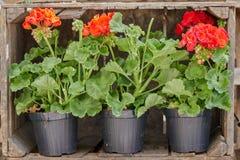 Bodziszek w kwiacie w wazie Zdjęcia Royalty Free
