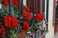 Bodziszek z czerwonymi kwiatostanami outside dom obraz royalty free