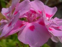 Bodziszków kwiaty Obrazy Royalty Free