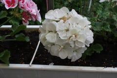 Bodziszka biały kwiat obraz royalty free