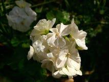 Bodziszka biały kwiat Obrazy Royalty Free