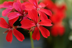 Bodziszka hybryd Pelargonium peltatum zdjęcie royalty free