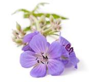 Bodziszka kwiat obraz royalty free