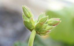 Bodziszka kwiat makro- Obrazy Royalty Free