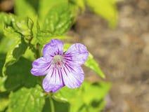 Bodziszka nodosum w kwiacie (Cranesbill bodziszek) zdjęcie royalty free