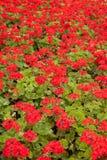 bodziszki czerwoni Fotografia Stock