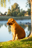 Boebul by river. A female boerbull dog sits in the early morning sun, by the river, under a Weeping Willow tree and enjoy the view Stock Photos