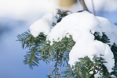 Boeg van pijnboomboom met sneeuw Bokeh, lichte dag in de winter royalty-vrije stock fotografie