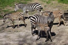 Boehmi de quagga d'Equus du zèbre de Grant photographie stock libre de droits