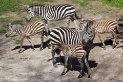 boehmi equus dotaci kwaga s zebra Zdjęcie Royalty Free