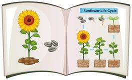 Boek die diagram van de cyclus van het zonnebloemleven tonen vector illustratie