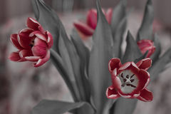 Boeket feestelijke bloeiende rode tulpen op de eenvormige achtergrond Stock Fotografie