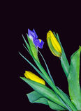 Boeket Tulpen en één iris Royalty-vrije Stock Afbeeldingen