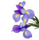 Boeket van blauwe irissen stock afbeelding