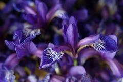 Boeket van blauwe irissen Royalty-vrije Stock Foto