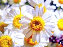 Boeket van bloemenmadeliefjes Royalty-vrije Stock Fotografie