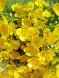 Boeket van de bloemen van gebiedsboterbloemen Stock Fotografie