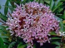 Boeket van exotische roze ixorabloemen stock foto's
