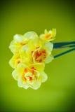 Boeket van gele gele narcissen Royalty-vrije Stock Foto