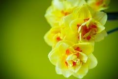 Boeket van gele gele narcissen Stock Foto's