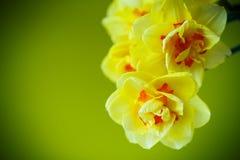 Boeket van gele gele narcissen Stock Fotografie