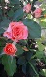 boeket van mooie nevelrozen van roze kleur op de achtergrond van bladeren royalty-vrije stock afbeelding