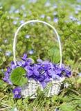 Boeket van mooie purpere viooltjesbloemen in een witte mand Stock Foto's