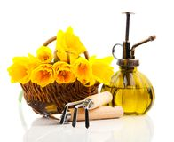Boeket van narcissenbloemen in een mand met tuinhulpmiddelen Stock Foto