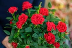 Boeket van rode mooie rozen, mooie achtergrond stock fotografie