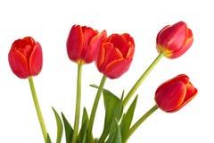 Boeket van rode tulpen Stock Afbeelding