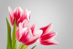 Boeket van roze tulpen Stock Afbeeldingen