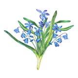 Boeket van Scilla-bifolia blauwe bosbloemen royalty-vrije illustratie