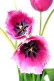 Boeket van tulpen. Royalty-vrije Stock Foto