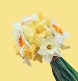 Boeket van verse die bloemengele narcissen op gele achtergrond worden geïsoleerd Royalty-vrije Stock Fotografie