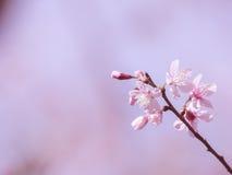 Boeket van wilde Himalayan-kersenbloesem, roze achtergrond Royalty-vrije Stock Foto's