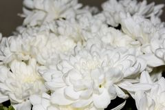 Boeket van witte chrysantenbloemen De witte bloemen, sluiten omhoog bloemblaadjes van witte Chrysantenbloem royalty-vrije stock foto's