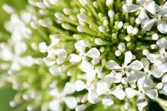 Boeket van witte Ixora-bloem Stock Foto's