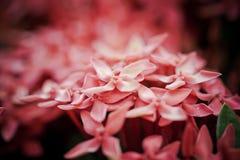 Boeket van witte Ixora-bloem Royalty-vrije Stock Afbeeldingen